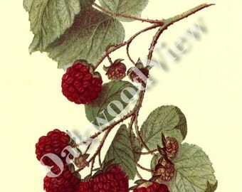 Eaton Raspberry Print by Ellen Isham Schutt, Fruit Berry Berries, Vintage 1994 8x12 Botanical Art, Botany, Color, FREE SHIPPING