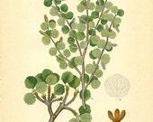 DWARF BIRCH - Botanical book plate 372