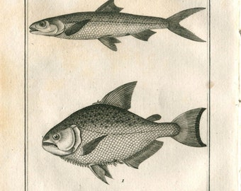 1804 Vintage Print Fishes, Redeye Piranha, Elope Saure Buffon and Sonnini Drawing by De Seve