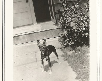 """Vintage Snapshot """"Watchdog"""" Black Chihuahua Dog With Big Ears - Found Vernacular Photo With Border"""