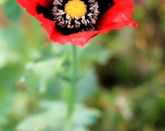 Flower Photography - Red Poppy - Spring Garden Photo Print - Wall Art - Size 8x10, 5x7, or 4x6