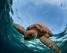 Sea Turtle Diving Underwater - Sea Turtle Portraits - Sea Turtle Photo Collection - Large Wall Art - Ocean & Beach Decor