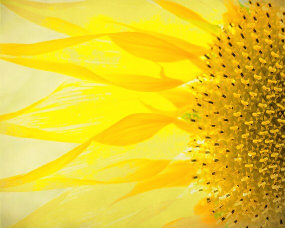 Bright Yellow Sunflower. Golden Yellow Blossom. Flower Pedals. Happiness. Sunshine. Nature Photography by OneFrameStories.