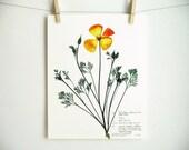 California Poppy Print, #194b, orange flowers art pressed botanical artwork original herbarium specimen art 8x10 11x14 pressed poppy art