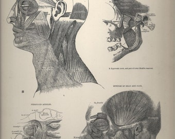 Muscles of the Head,  Anatomical Plate 25, Descriptive Atlas of Anatomy 1880