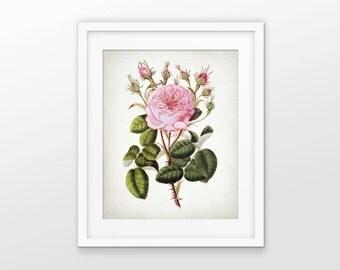 Pink Rose Art Print - Centifolia Rose - Provence Rose Art - Cabbage Rose Decor - Botanical Print - Single Print #1605 - INSTANT DOWNLOAD