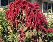 Love Lies Bleeding Seeds (Amaranthus caudatus)