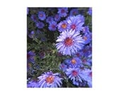 """Gallery Quality Aster Print Violet Colored Perennials """"Herb of Venus"""" Mystical Powers Free US Shipping and Insurance"""