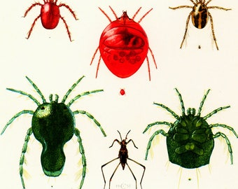 1960 Mites Identification Chart Print.  illustration. Parasite Pest Chart Print. Entomology. Natural History. Science.