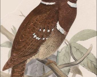 16x24 Poster; Philippine Frogmouth) Batrachostomus Septimus By Joseph Smit