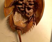 12 Atlantic Horseshoe Crab Shells with Tail and Legs Intact Naturally Collected from Cape Cod Bay Full Molt Medium Size 10-14 Inches Long