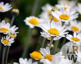 Fine Art Photography Daisy Flowers Digital Download