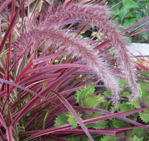 Ornamental grasses hopespringsnursery for Dwarf grasses perennials