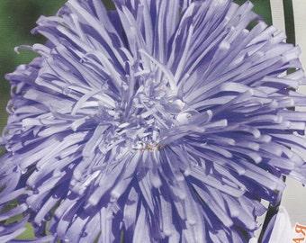 Aster Flower Seeds Blue Sky annual from Ukraine#958