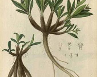 Spikenard Nepalese Green Essential Oil - Nardostachys jatamansii - 100% Pure