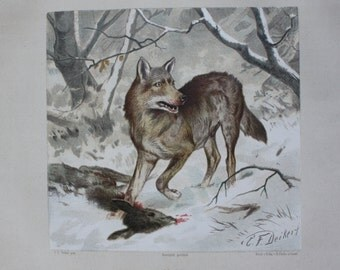 Old litho print wolf 1897