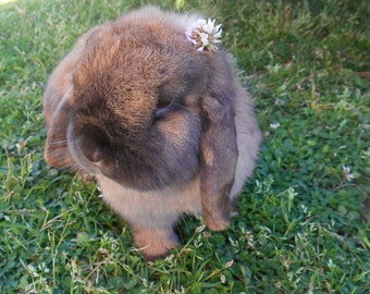 Holland Lop with Clover