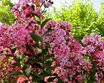 Peppermint Dwarf Crape Myrtle, Pink and White Crape Myrtle, 2 Gallon Potted Plant, White and Pink Blooms, Landscaping, Vibrant Shrub, Hedge