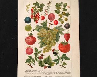 Berries - Original Vintage Print,  Antique Color Lithograph, Natural History Print