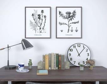 Antique botanical thistle print set, Thistle art, Safflower, Set of 2 vintage print, Instant download print set, Black and white prints, JPG