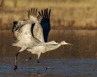 Sandhill Cranes in Flight Photo, Bosque del Apache, Birds in Flight, New Mexico, Nature Photography, SynVisPhotos, Canvas Wrap, Steve Traudt