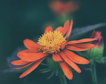 Canvas or Metal or Paper or Acrylic Rich Deep Colorful Macro Fine Art Photographic Print of a Flower