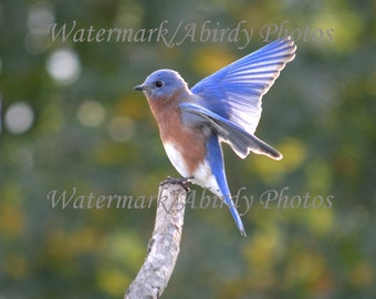 Bluebird Male Dancing on Branch End 8x10 #2029_90_2015