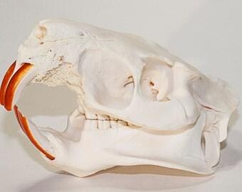 Nutria Skull | Animal Skull | Bone Skull | Coypu Skull | Bone Disease | Osteomyelitis | Pathology