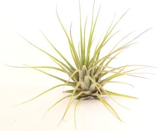 Ionantha Air Plant , Tillandsia , Great Plant for Terrariums , Gardens , Planters , Home Decor , Gift