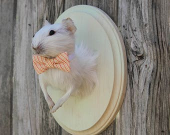 Handsome Albino Guinea Pig Taxidermy Mount