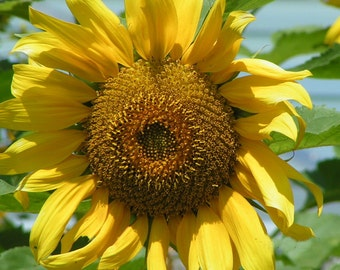 Digital Photos, Photography, Digital Download, Home Deco, Photo Print, Sunflower Photo, Sunflower Print, Sunflower Photography,
