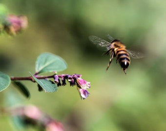 """Flying Bee collecting pollen Colour Print 7x5"""" 8x10"""" Nature Photography print"""