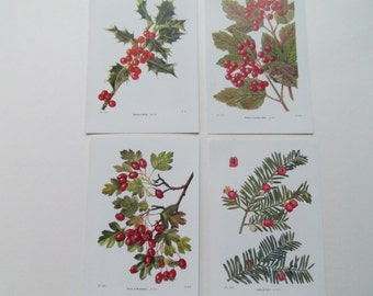 Berries set of 4 Botanical Vintage bookplates-Hawthorn Holly Yew Guelder Rose  dated 1920 17cm x 11cm