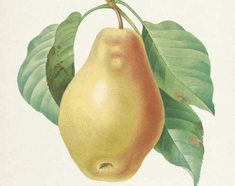 Pear Botanical Print, Pear Art Print, Pear Wall Art, Fruit Art, Fruit Print, Kitchen Art, Garden, Redoute Art, Poire Tarquin