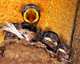Welsh Wildlife Canvas: Swallow (Hirundo rustica)