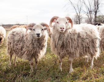 Icelandic Sheep, Sheep Farm, Photo, Fine Art Print