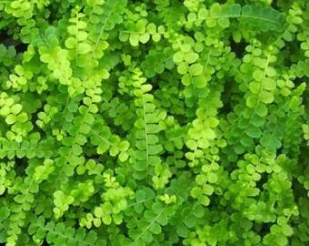 "Lemon Button Fern 4"" Pot - Nephrolepis cordifolia Duffii (FREE SHIPPING)"
