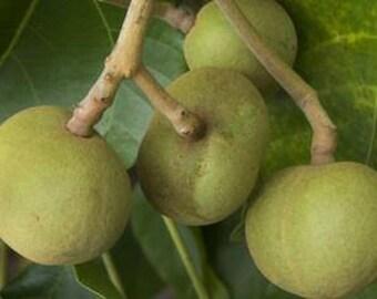 Kukui Nut Oil (Aleurites moluccans) Organic Cold Pressed