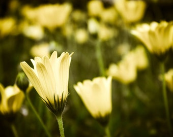 Nature Photography - Yellow Daisy- wall art