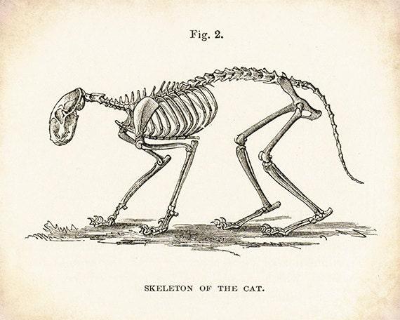 Cat Skeleton Cat Art Cat Picture Cat Drawing Skeleton