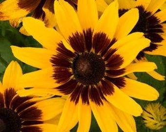 30+  Rudbeckia hirta DENVER DAISY / aka Black Eyed Susan / Perennial / Rabbit Resistant Flower Seeds