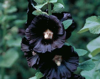 Hollyhocks FLower Plant Root / Bulb Black Color Perennials Summer Plant