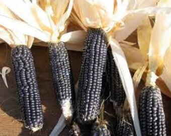 Blue Hopi Corn Seeds, 50 Seeds, Rabbit Rescue Donation