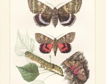 Vintage lithograph of yellow bands underwing, red underwing, blue underwing, light crimson underwing, owlet moths from 1956