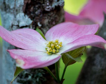 Flower Pink Dogwood Canvas or Poster Wall Art Home Decor