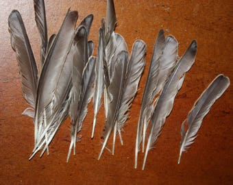 Starling feather
