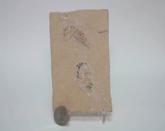 2 Fossil Shrimp Natural Color NOT Painted Carpopenaeus from Hakel Haqil Lebanon