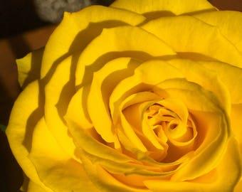 Yellow Rose - Blank Greetings Card