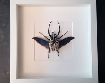 Goliath beetle of Goliathus