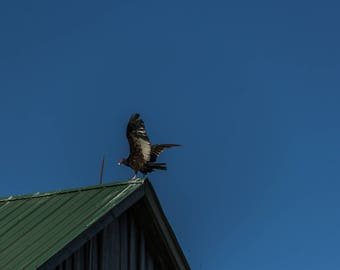 Vulture on the Roof